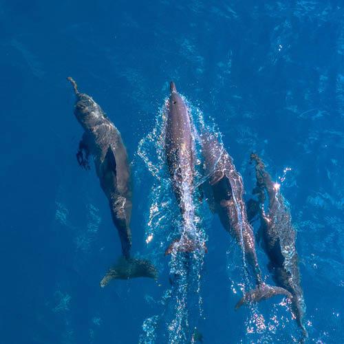 Dolphins Calyspo Reef Cruises